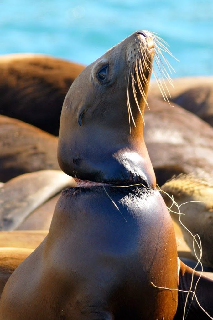 Fishing line wrapped around sea lions neck
